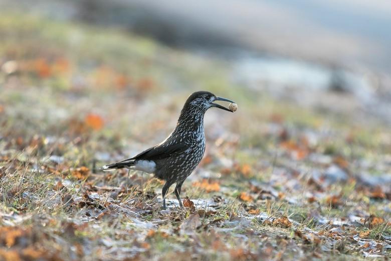 beroemde vogel van Wageningen - Beroemde vogel van Wageningen .<br /> (notenkraker)