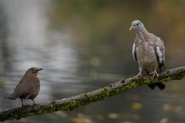 Merel versus duif