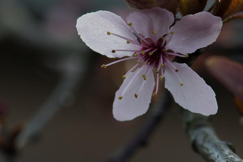 Bloesem - Bloesem van een lokale boom