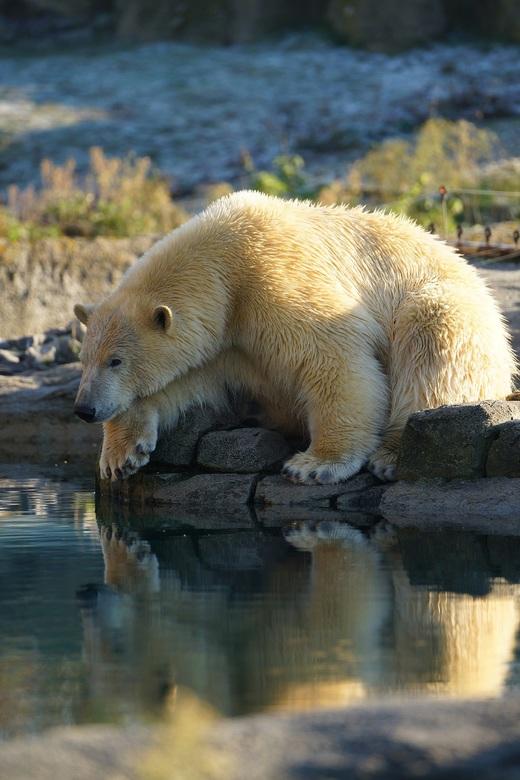 IJsbeer aan de waterkant.
