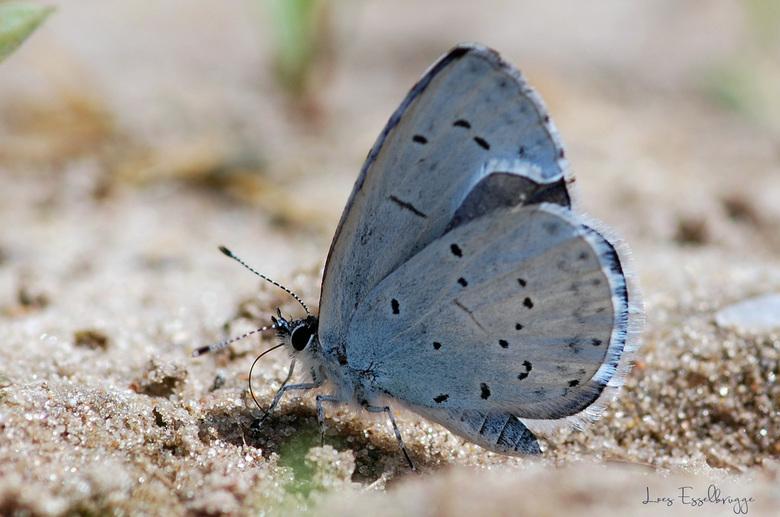 Boomblauwtje (Celastrina argiolus) -