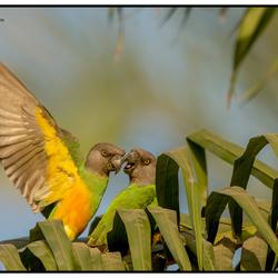 Senegal papegaaien