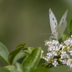 Vlinder op de ligusterbloemetjes
