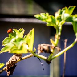 Klein lieveheersbeestje op een blad