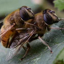 Voortplanting der bijen
