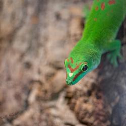 Reuze Madagaskar daggekko
