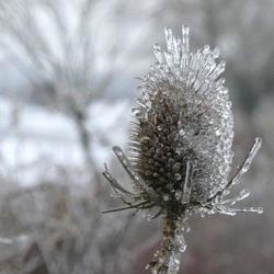Kaardedistel met ijskristallen