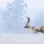 Damhertbok in een winterse omgeving.
