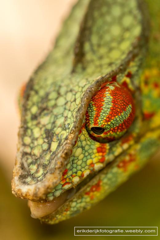 Close up van een kameleon op Madagaskar. -
