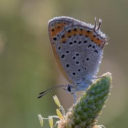 Oostelijke vuurvlinder (vrouw in dauw)