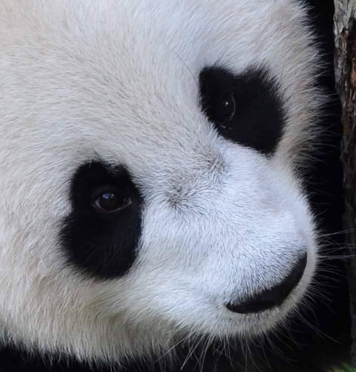 Reuze Panda - Reuze Panda<br /> Pracht dier om van dicht bij mee temaken.