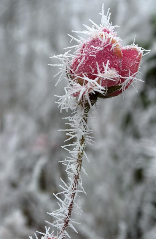 Roos met rijp -