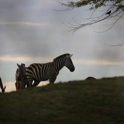 zebra's met tegenlicht
