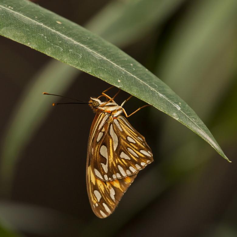 Agraulis vanillae - Deze heb ik gezien in de vlindertuin in Luttelgeest.<br /> Mooie vlindertuin maar voor mij wel ver weg, nog maar tweemaal geweest
