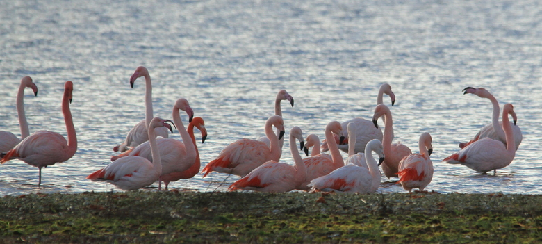 Flamingo's in Zuid Holland  - Ieder jaar komen ze teug naar Battenoord bij Nieuwe-Tonge de flamingo's . Is toch een vreemd gezicht om zoveel flam