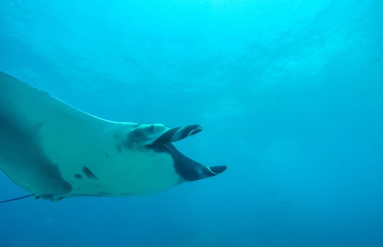 Manta bij Catalina Islands - Nieuwsgierige Manta Ray ontmoet tijdens het duiken in Costa Rica.
