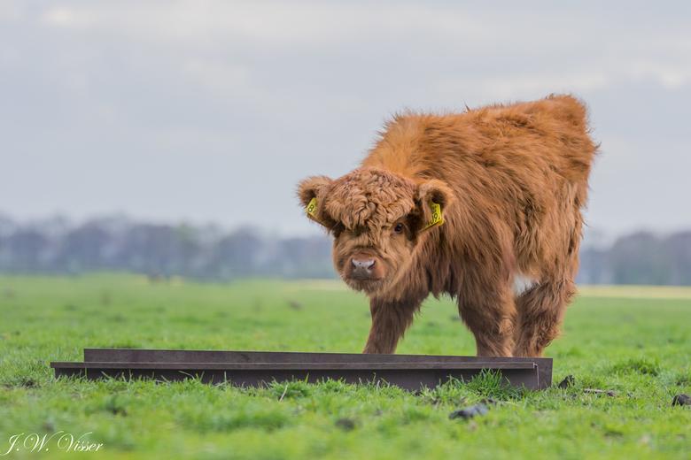 Schots hooglander kalfje