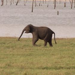brullende babyolifant