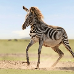 Zebra on the Run.....