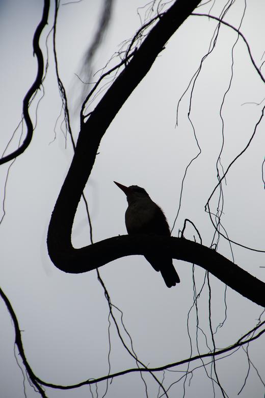 Silhouet grijskopijsvogel -
