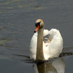 zwaan op weg naar zijn nest