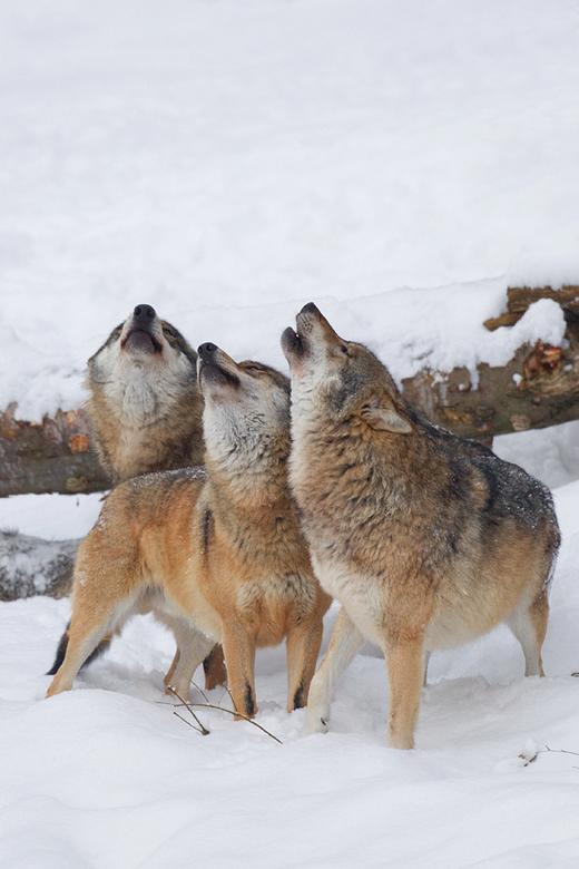 De drie tenoren - Nog een plaatje uit het Bayerischer Wald.<br /> <br /> Deze drie tenoren huilden uit volle borst!<br /> <br /> Dit was een aange