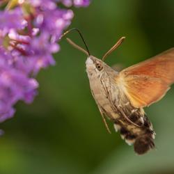 Kolibrievlinder 1