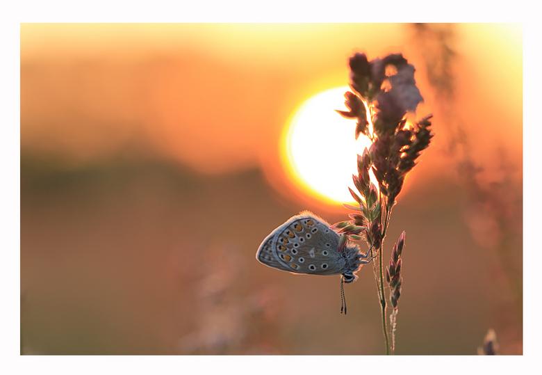The Sundown Butterfly 2 - Nog een Icarusblauwtje tegen een ondergaande zon.<br /> Bedankt voor jullie reacties op mijn vorige foto.<br /> <br /> Gr