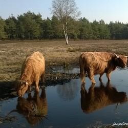 Schotse Higlanders