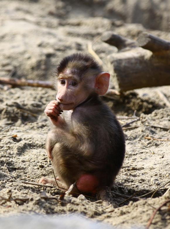 Kleine baviaan - -