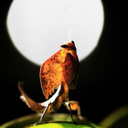 Full moon mantis