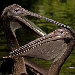Pelikanenliefde