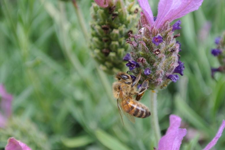 Insect op een lavendelbloem - Gemaakt in de zomer in mijn eigen tuin.