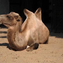 kameel, 1307208061mw