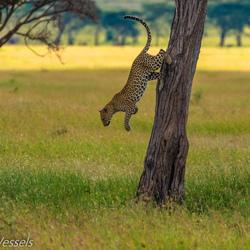 Leopard klimt uit de boom