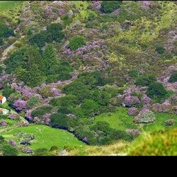 Rhododendron Ierland