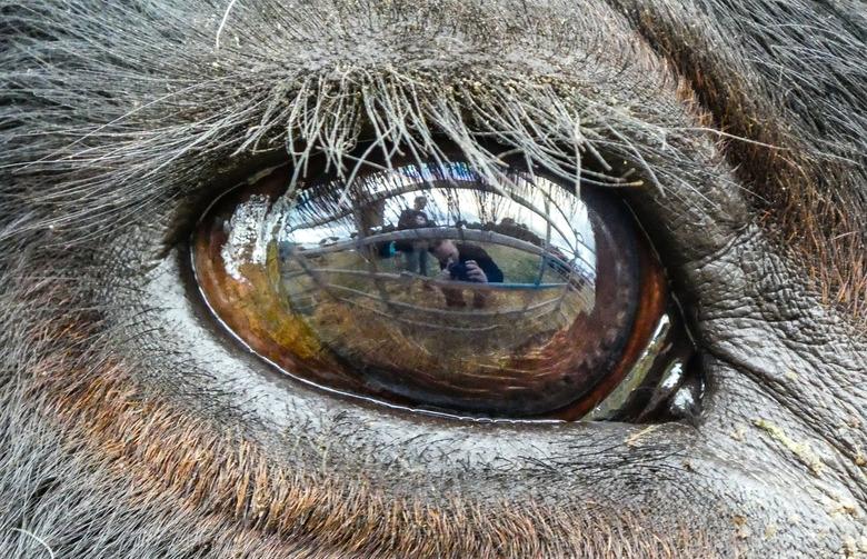 Oogappel - Selfie in het oog van een Belted Galloway
