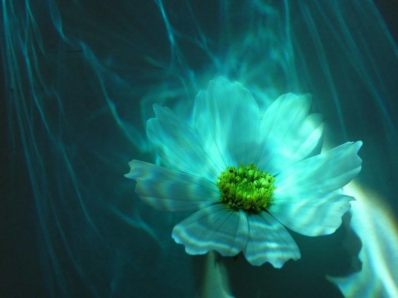 Witte Cosmos bloem - Witte Cosmos bloem maar dan anders....Ik heb gebruik gemaakt van o.a. het zonlicht en spiegelingen van bijzondere attributen.....