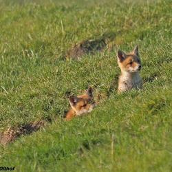 Jonge vosjes ff kijken of de kust veilig is