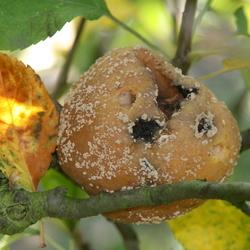 Rotte Appel