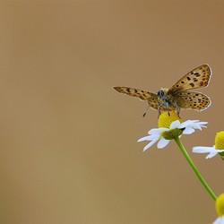Bruine Vuurvlinder.jpg