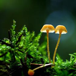 Mosklokjes spp ( Galerina's spp.)