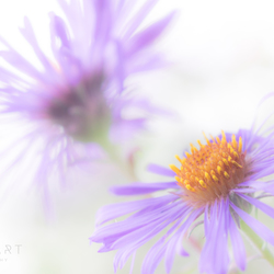 Fading Purple