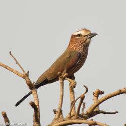 Rufous-crowned Roller, Roodkruinscharrelaar-3