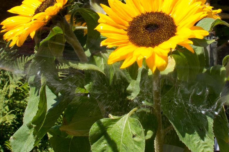 spetterende kleuren - Zonnebloemen waar letterlijk een zeepbel uit elkaar spat