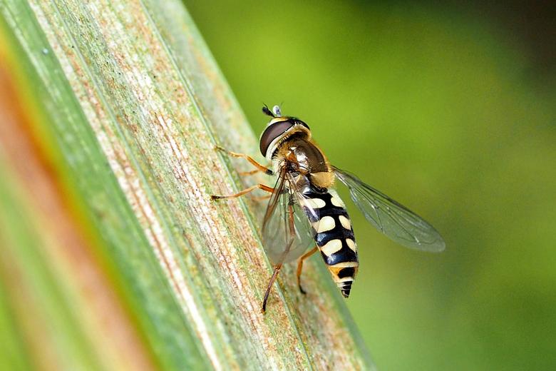 Terrasjeskommazweefvlieg of Terrasjeszwever  - Terrasjeskommazweefvlieg of Terrasjeszwever (Eupeodes corollae)