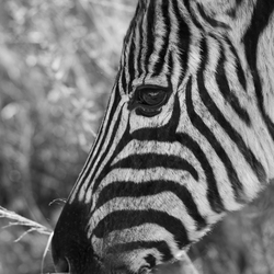 Zebra in Ithala Game Reserve
