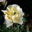 Bedauwde roos met sprinkhaan
