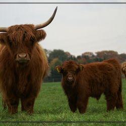 Schotse Hooglanders, moeder en kind.