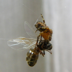 spin heeft vlieg te pakken